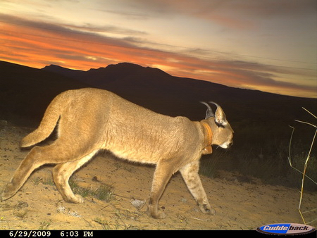 Rocky the rooikat – latest camera trap photo