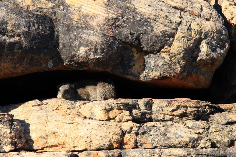 A lazy dassie or rock hyrax snoozing in the morning sun