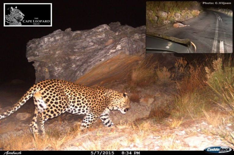 A camera-trap photo of the male leopard which died in 2017 after being hit by a car in Bainskloof Pass. The insert was taken soon after the incident by a passerby. Image: Cape Leopard Trust/Facebook.