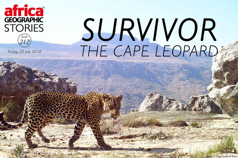 Survivor The Cape Leopard