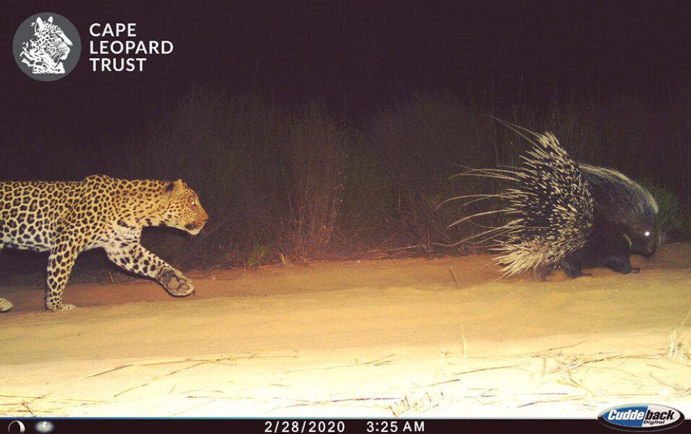 Learning from Leopards during Covid19