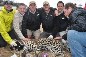 Leopards tagged at Bushmans