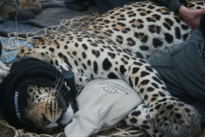 Capture for Conservation - Leopard Trapping in the Cederberg and Malawi