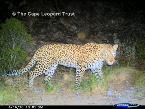 Jabulani, the first adult male leopard photographed by the Boland team in April 2010