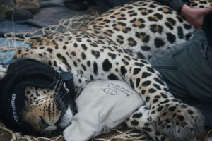 "The Cape Leopard Trust ""Miles for Cats"" Appeal"