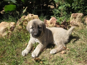 Anatolian Livestock Guardian Dogs For Sale in the Cederberg