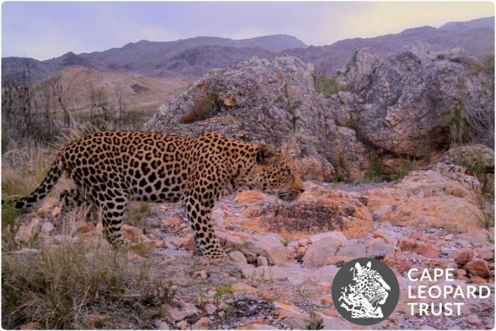 Cape Champion wine farms promote Cape Leopard conservation