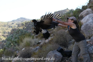 An insight into Black eagles behavior like never before!
