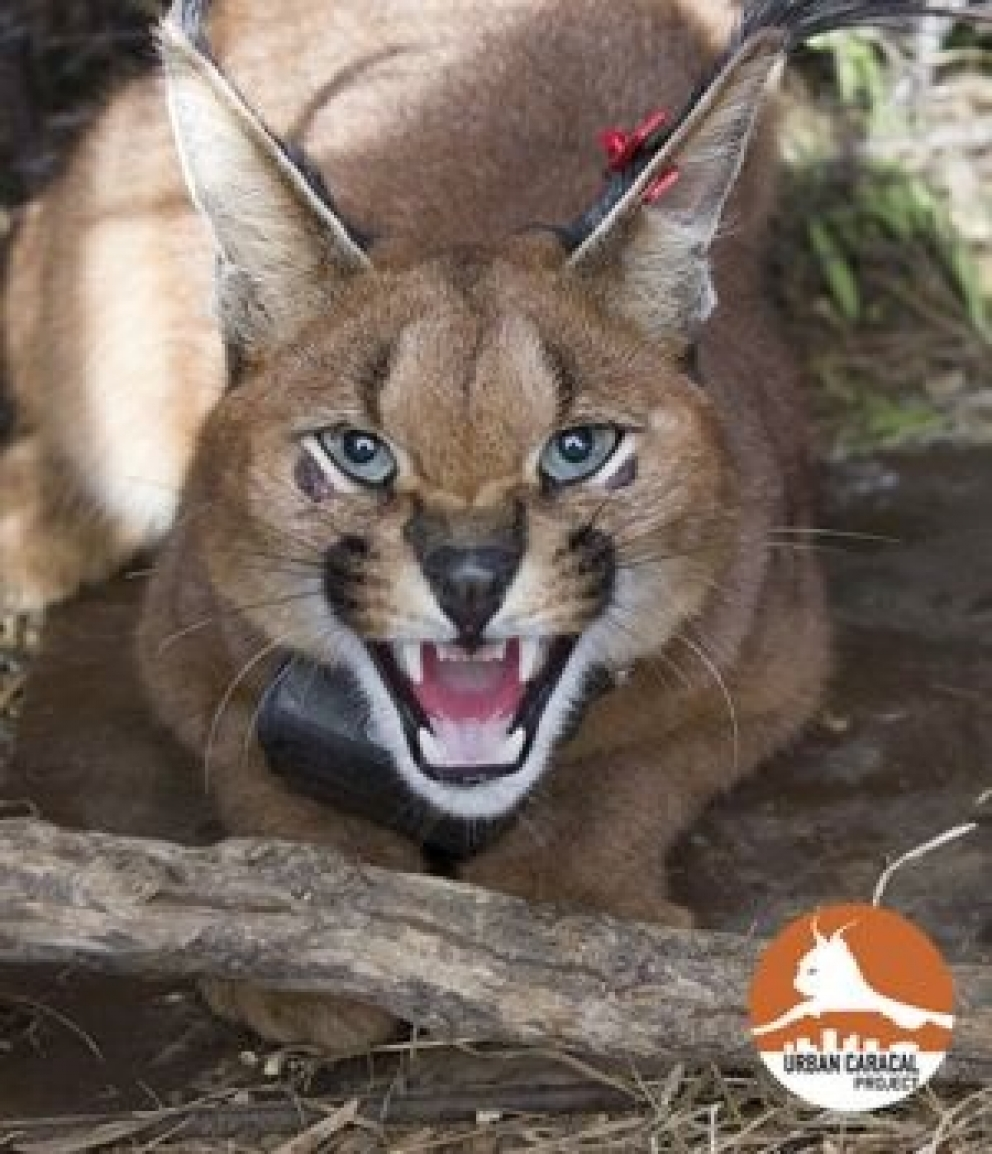 Tracking Cape Town's urban caracals