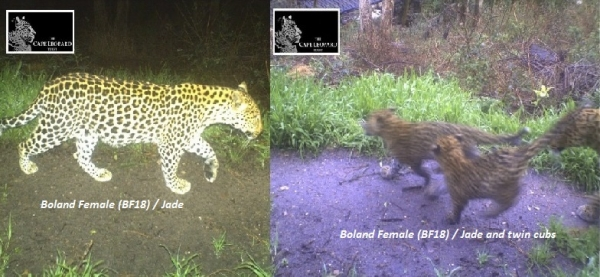 FNB W2W Route yields exciting discovery for the Cape Leopard Trust Boland Project