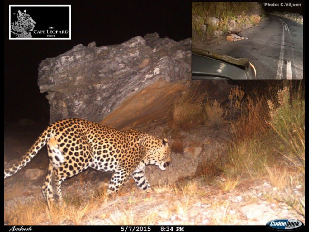 A camera trap photo of BM30, taken between Eerste and Tweede Tol in Bainskloof. Insert: a photo taken soon after the accident by a passer-by.