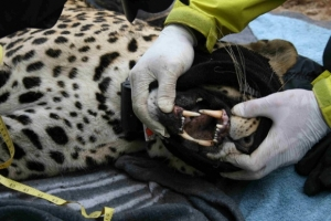 Successful September as more leopards collared in the Cederberg