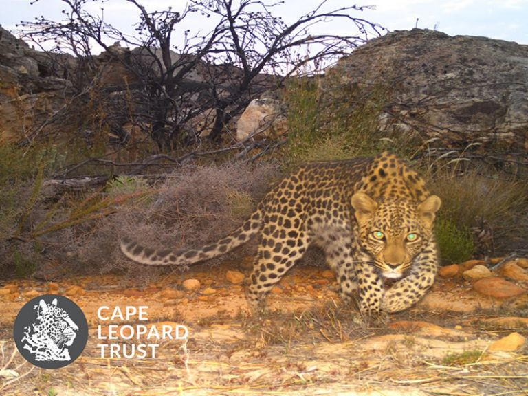 4 Months on the Cape Leopard Trust Cederberg Project