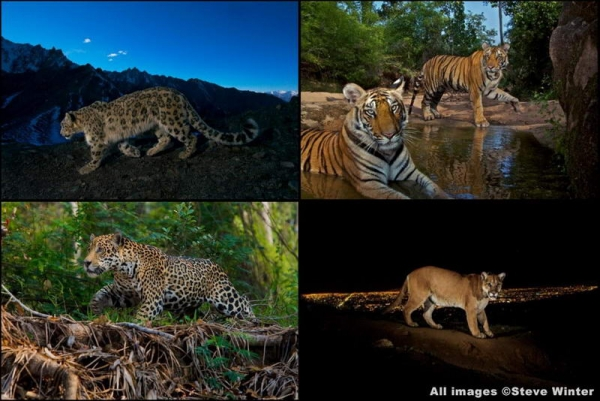 A few of Steve Winter's famous images. Clockwise from top left: snow leopard; tiger; mountain lion; jaguar